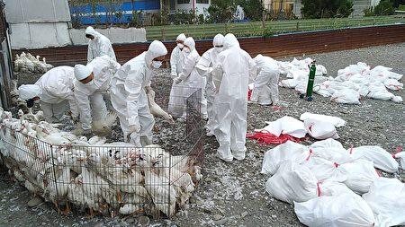 屏东县动物防疫所于盐埔乡及高树乡各1场肉鸭场检体,确诊H5N5亚型高病原性禽流感,即赴该2场执行扑杀作业,共扑杀9000多只肉鸭。