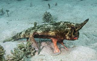 用鰭行走 加勒比海底驚現罕見的獨角怪魚