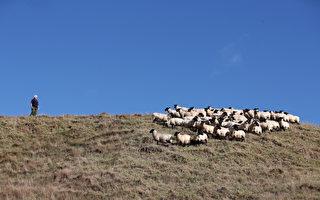 新西蘭曾人均22隻羊 現在只剩人均5隻