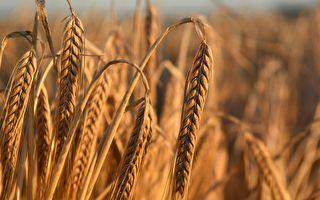传大陆大买加拿大和法国大麦 以填补缺口