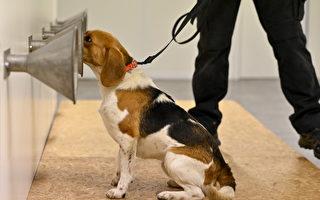 狗能聞出COVID-19病毒 不到1秒出結果