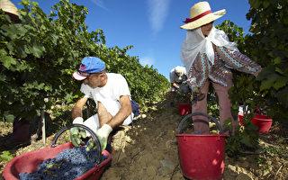 形势严峻:纽果农呼吁增加采摘季节工