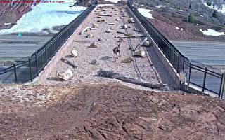 建動物專用天橋見成效 美猶他州官員超驚喜