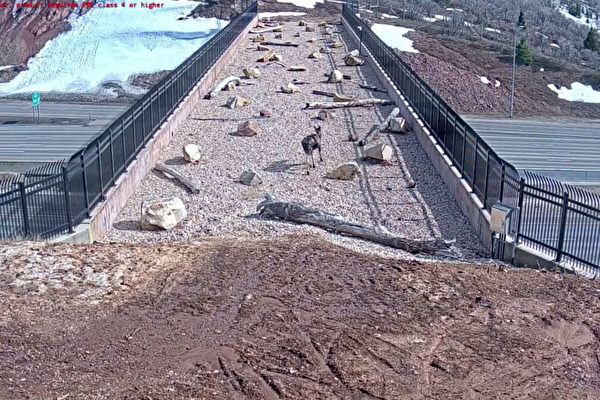 建动物专用天桥见成效 美犹他州官员超惊喜