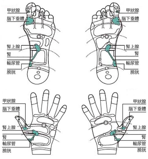 橘皮与下肢水肿时,按摩图上的脚底、手心反射区穴位。(采实文化提供)
