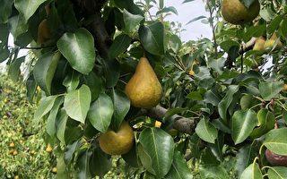 海外劳工短缺 南澳蔬果恐涨价达25%