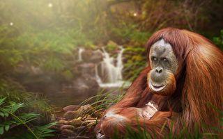 动物园感人一幕 雌猩猩温情守护哺乳妈妈