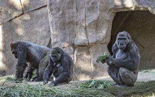 聖地亞哥動物園大猩猩染疫 或傳自無症狀園工