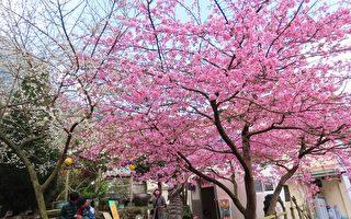 【視頻】櫻梅綻放 台阿里山區櫻王和梅花之美