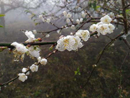 雨后的寒梅一派唯美,扑鼻的香气更为浓郁。