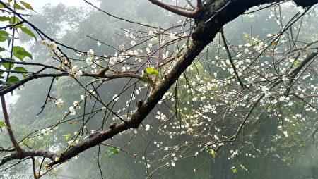 连续低温的天气让今年的花况甚佳,游客要把握赏梅最佳时机。