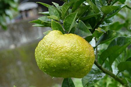 供桌上的虎頭柑,取它的酸與茶、中藥結合,經過反覆日晒、蒸煮,讓柑橘的酸慢慢轉為甘。