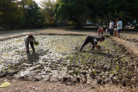 學生與貴賓體驗挿秧,後續由在地農民到校做最後的修飾。