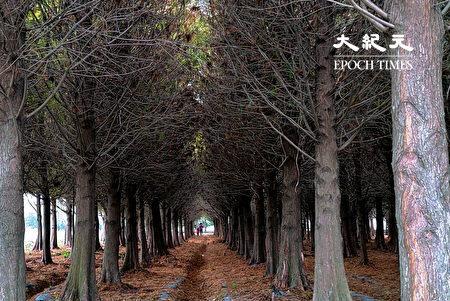 又到了六甲落羽松賞紅的時節,在林間自由穿梭既有趣又浪漫。