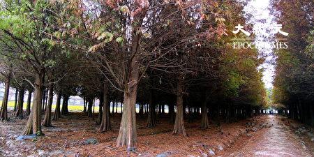 六甲落羽松以多區塊種植,散布在不同區塊,需要花不少時間才能全部逛完成。