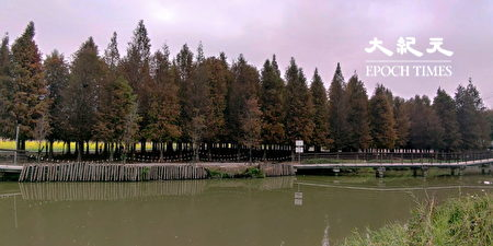 六甲落羽松北临菁埔埤,可循着沿岸的步道远观落羽松林区。