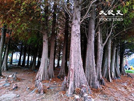 林区的落羽松气根处处窜出地面,形成另一独特景观。