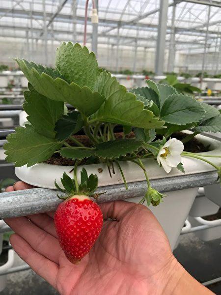 亿光电子研发的转色灯,可让香水草莓果实转红率提升3成,而且颜色更鲜红。