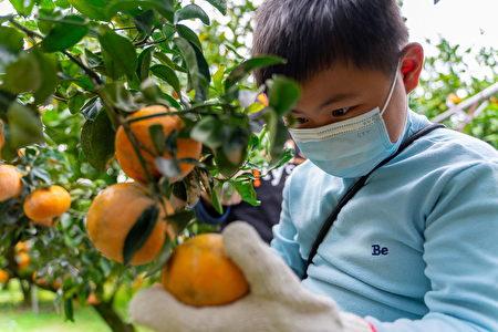 中原大學與city_super邀請失親兒基金會苗栗服務處的小朋友來到卓蘭體驗當季茂谷柑採果活動。