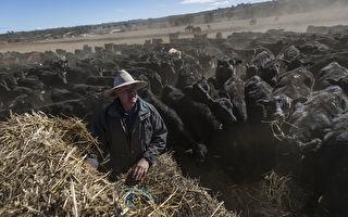 澳洲人拒做农活 部长被迫施压让外劳收庄稼