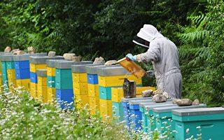 除草剂残留超标 日本警告将停止进口纽蜂蜜