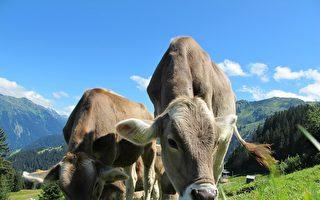 澳洲乳品业获联邦拨款 着手研究印度市场