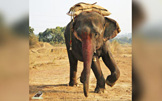 常年遭虐待 食菸酒油炸品 印度老象終獲營救