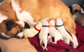 超溫馨 柯基媽媽順利收編四隻拉拉幼犬