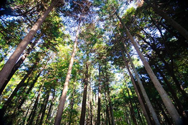 森林中有大量的芬多精,芬多精是植物為自保所釋放的一種揮發性有機化合物,有抗菌、提升免疫力之效。(Shutterstock)