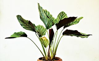 英國男臥室培育罕見植物 一葉賺1.6萬美元