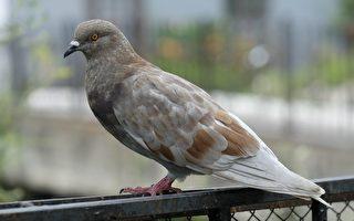 澳洲鸽子被当成美国飞来的赛鸽 差点被扑杀