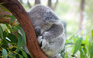 澳女子在聖誕樹上發現淘氣的考拉
