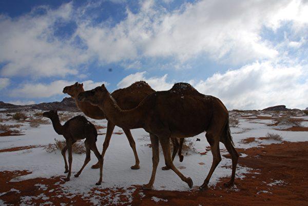 骆驼和白雪