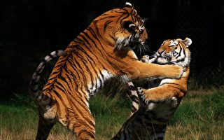 看保護區內兩隻老虎爭地盤 遊客驚嘆