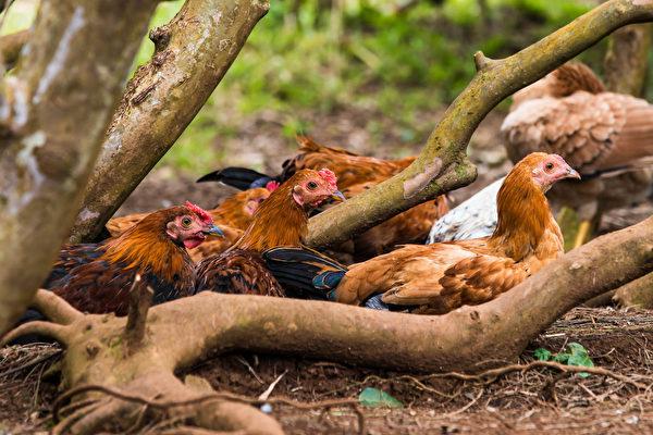 數千隻野雞占領夏威夷小島 四處趴趴走