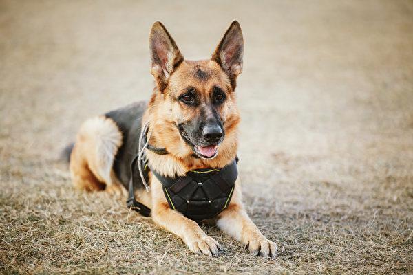 美警犬緝凶遭槍擊 手術後出院 警察列隊迎接