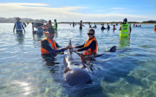 領航鯨擱淺新西蘭「致命海灘」至少15頭喪命