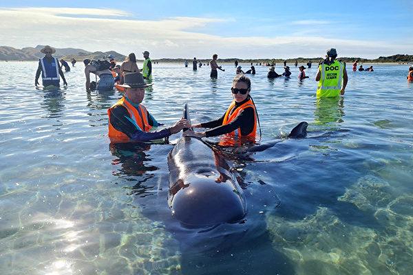 """领航鲸搁浅新西兰""""致命海滩""""至少15头丧命"""