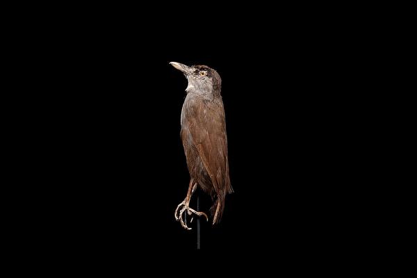 印尼罕見黑眉雅鶥 消失170多年後神祕現蹤