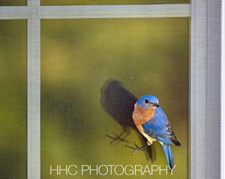 鸟, 东蓝鸲, Eastern Bluebird