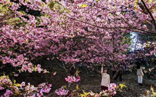 過年賞櫻 高雄「櫻花公園」看粉色系花海