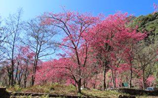 组图:过大年 台湾阿里山赏樱赏鸟好时机