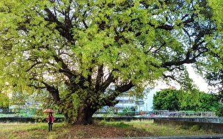 【视频】台湾高雄茄苳巨木壮观 风铃木盛开