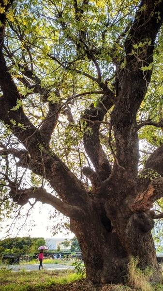 【视频】台湾高雄茄苳巨木壮观 风铃木盛开迎宾