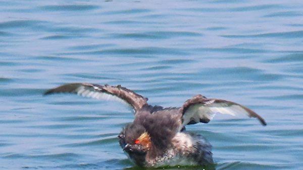 【视频】罕见黑颈䴙䴘换繁殖羽 超萌台冬候鸟