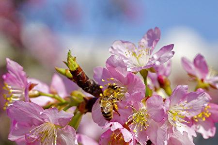 中大湖畔的河津櫻,經寒流淬練,預告春神來了。