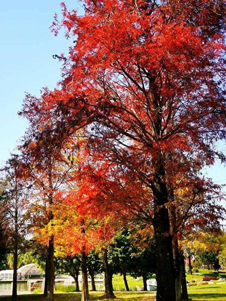 明道大学校园中的落羽松。