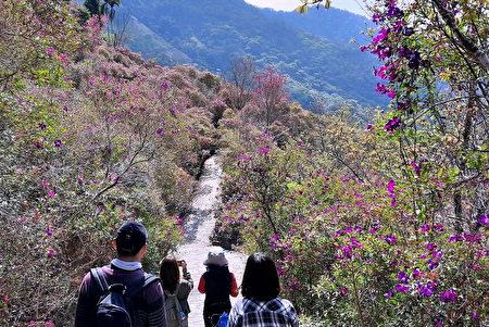 梅岭紫牡丹沿途盛开。