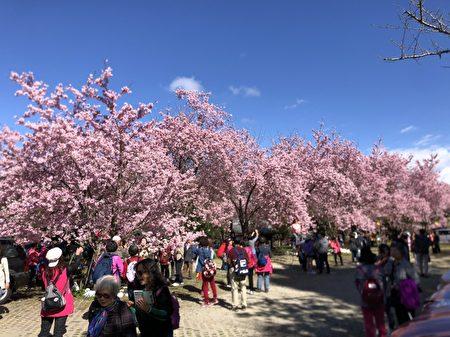 復興區拉拉山正值賞櫻季節,台7線(北橫公路)沿線、中巴陵櫻花步道及上巴陵恩愛農場為賞櫻熱點。