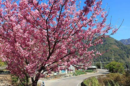 古坑草嶺石壁山區的櫻花